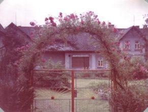Pnoucí řůže v květu pěstovaná manželi Řehákovými - srpen 1989. V pozadí dům u Čudů s bývalou prodejnou masny.
