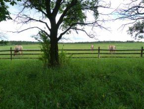 Koně na pastvě v obci Úhlejov.